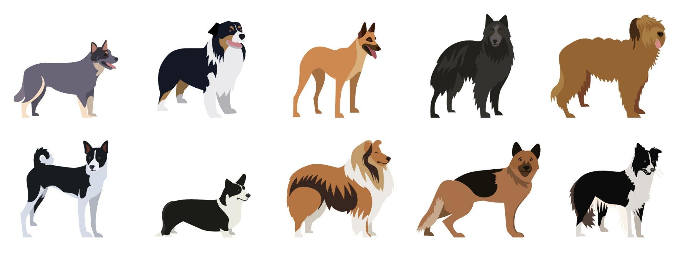 Découvrez une race de chien particulièrement intelligente.