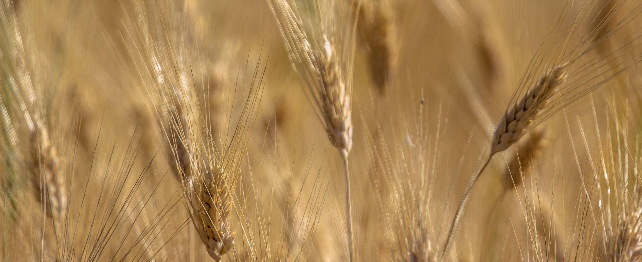 Du blé poussant au printemps, peut transporter des graminées et des épillets.