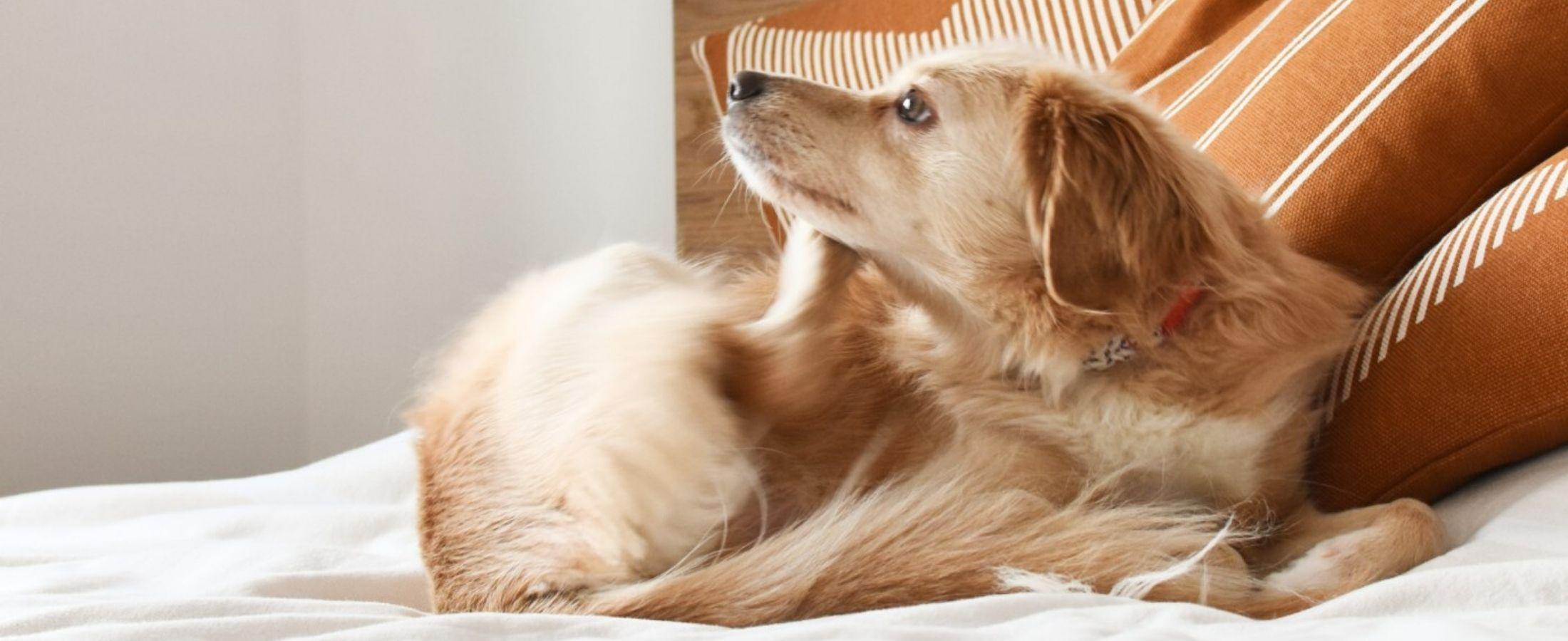 Comment éviter les puces à mon chien ?
